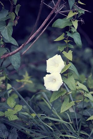 Volubilis, climbing plant.