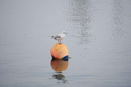 Black-headed gull on a buoy. Standard-Bild