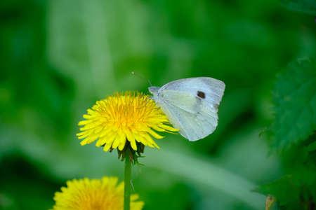 Butterfly resting on a dandelion.