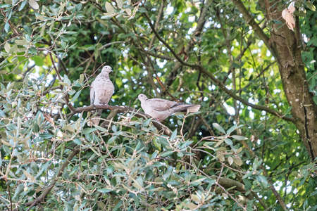 Couple of Turkish doves in the trees.