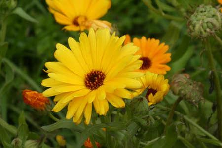 Yellow flower; officinal marigold.