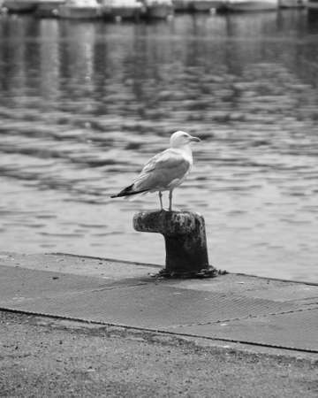 Gull standing on a mooring post. Banque d'images
