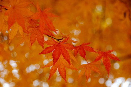 Japanese maple leaves in autumn with sun light photo