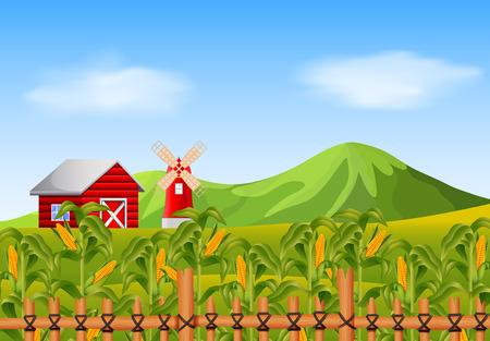 Field of corn and red barn