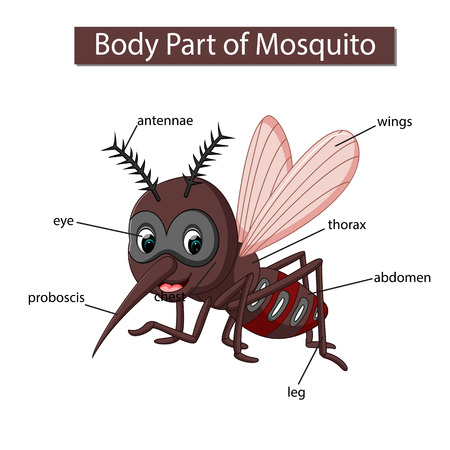 Diagram showing body part of mosquito