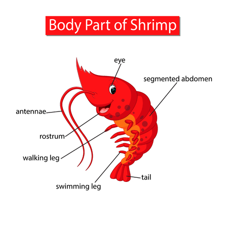 Diagram showing body part of shrimp Vectores