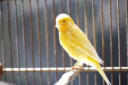 Beautiful yellow canary sitting on the cage under the sun shine