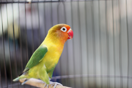 Lovebird sitting on the cage