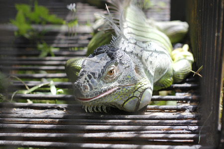 male Green iguana on the cage