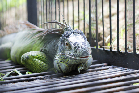 Close up view male Green iguana on the cage