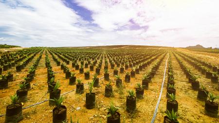 Plantation de palmiers à huile, semis de palmiers à huile