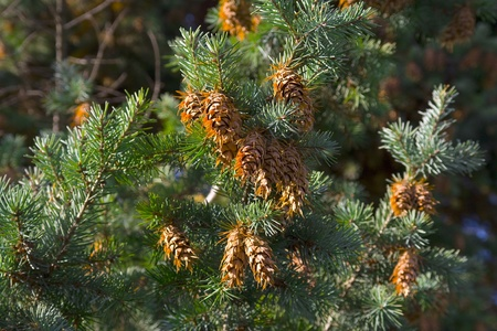 The cones of spruce. Christmas background photo