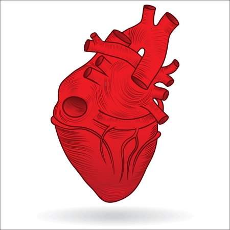 blood line: Heart human body anatomy red sketch isolated on white background as medical health care symbol of cardiovascular organ  Valentine vector button or icon