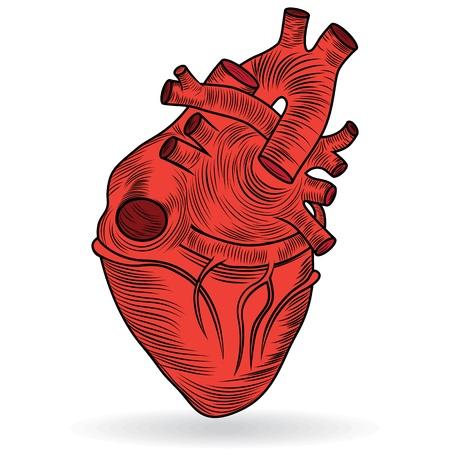 심장 혈관 기관 발렌타인 버튼 또는 아이콘의 의료 서비스의 상징으로 흰색 배경에 고립 된 심장 인간의 신체 해부학 빨강 스케치 일러스트