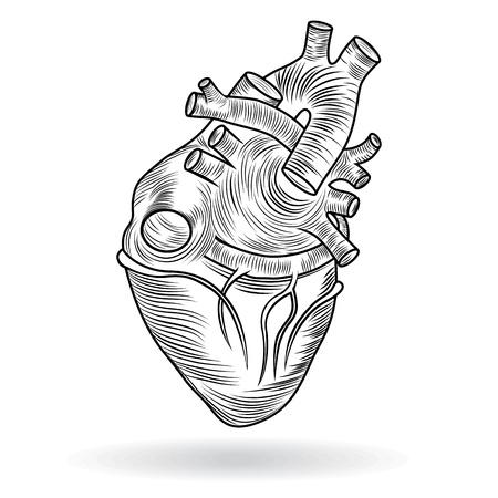 donacion de organos: Coraz�n cuerpo humano anatom�a bosquejo aislado sobre fondo blanco como s�mbolo m�dico del cuidado de la salud cardiovascular bot�n �rgano de San Valent�n o el icono Vectores