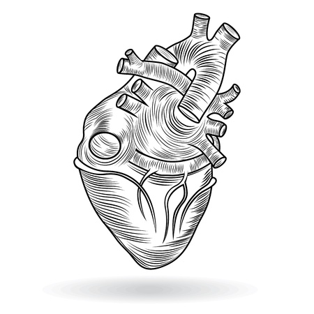 vena: Heart human body anatomy sketch isolated on white background as medical health care symbol of cardiovascular organ  Valentine  button or icon
