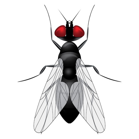 musca domestica: Fly insect sketch symbol illustration. Housefly icon design.