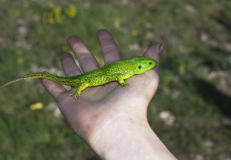Lizard sits on hand photo Stock Photo - 19584093