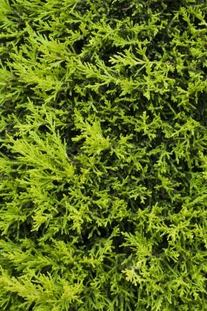 arborvitae: Thuja, thuya, arborvitae, cedar, western green cedar, tree hedge close-up view photo