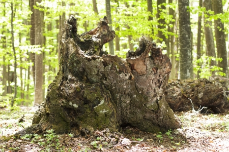 hollow tree: Stump of old tree in forest  Detailed nature photo