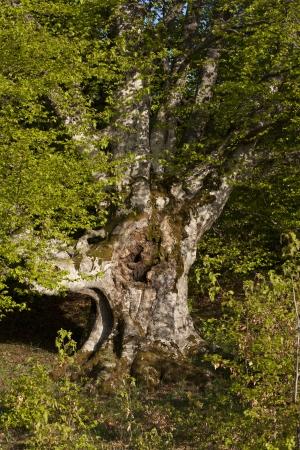 Tree like hand  Majestic old tree with big trunk photo photo