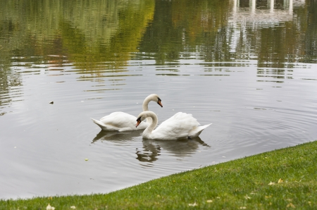 Swans bird on the river in the morning in lake photo  photo