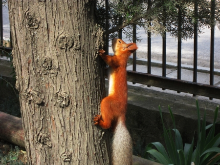 red squirrel: Red squirrel climbing or sitting on tree photo  Animal in nature