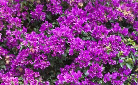 Lila Bougainvillea Blumen-Foto auf die Natur Hintergrund.