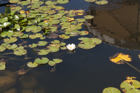 Water lily flowers sunlit on lake. In water is reflection of sky and hill photo Stock Photo