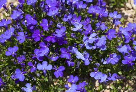 saint: Blue Trailing Lobelia Sapphire flowers or Edging Lobelia, Garden Lobelia in St. Gallen, Switzerland photo. Its Latin name is Lobelia Erinus Sapphire, native to South Africa, Malawi and Namibia.