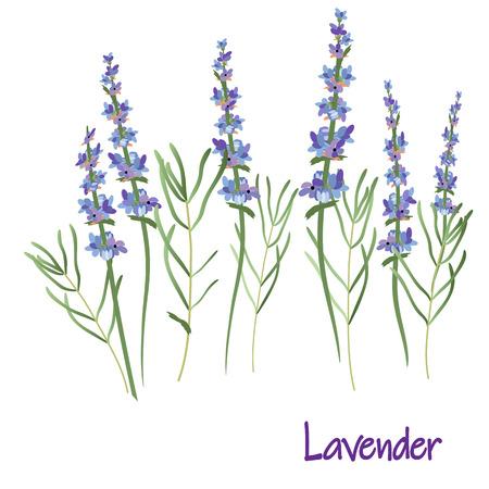 lavender flowers, vector drawing medicinal plant botanical illustration, isolated floral element - Vector