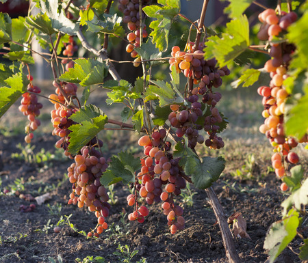 Bunch of grapes on a vine in the sunshine the winegrowers grapes on a vine red wine photo Stock Photo