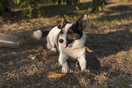 Jack Russell Terrier dog photo