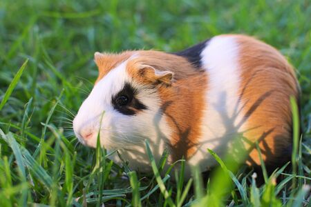 Cute guinea pig grazing. These animals are kept as livestock in the Andean region, where they are considered a delicacy.