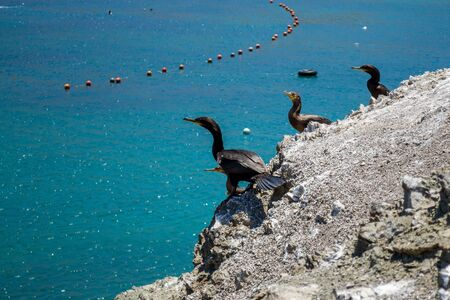 Black cormorants (Phalacrocorax carbo) perched on the rocks by the sea of Antofagasta, Chile