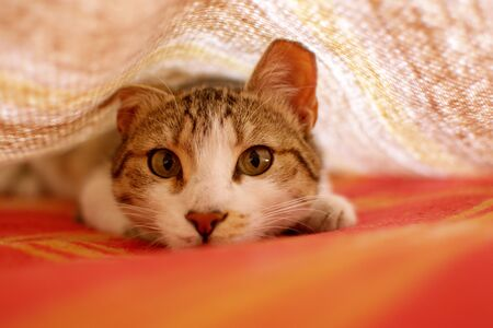 Young tabby cat playing hunt under the blankets on bed.