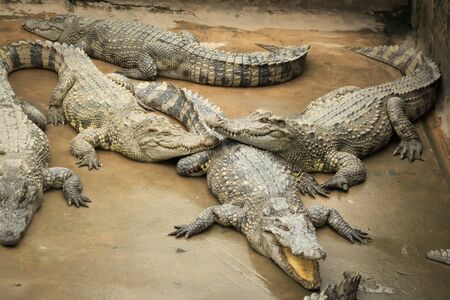 Siamese crocodiles (Crocodylus siamensis) on a farm near My Tho, Vietnam. This is an endangered species of medium-sized freshwater crocodiles native to Indonesia.