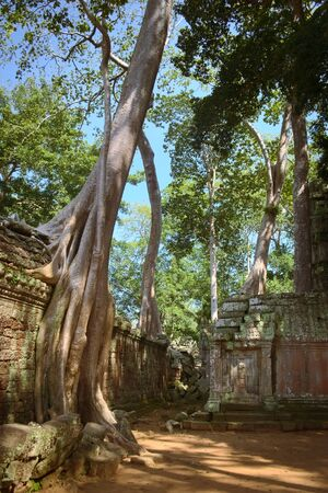 Gigantic tree growing over a wall on the inner courtyard of Ta Prohm temple ruins, located in Angkor Wat complex near Siem Reap, Cambodia.