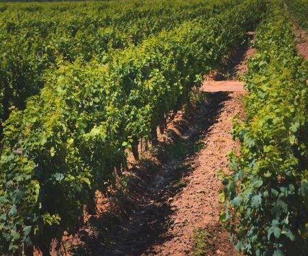 Grapevine rows at a vineyard estate in Mendoza, Argentina. Wine industry, agriculture background.