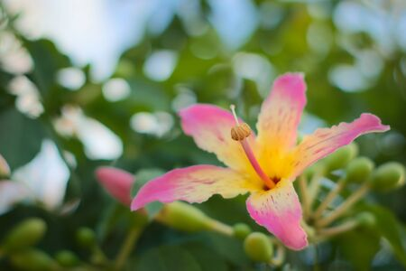 Colorful, exotic flower of a silk floss tree (Ceiba speciosa) on a bright summer day. Close up shot.