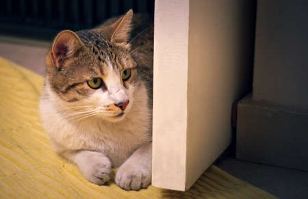 Gorgeous domestic tabby cat playing hunt, stalking behind a door. Archivio Fotografico