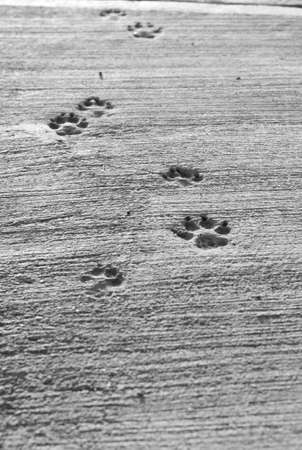 Dog paw prints in dry cement. Black and white.