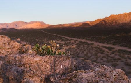 Desert plant growing on a rocky outcrop near Uspallata, Mendoza, Argentina.