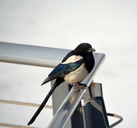 handrails: magpies on metal handrails