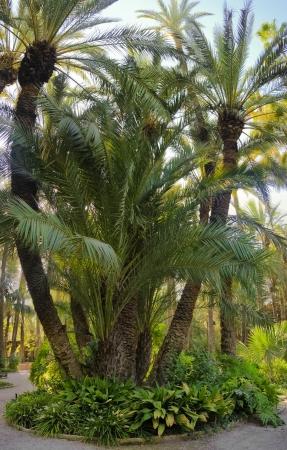 palm garden: Palm garden Huerta del Cura Elche Spain Stock Photo