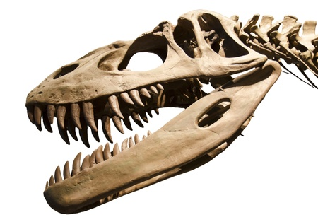 skeleton skull: Dinosaur skeleton over white isolated background Stock Photo