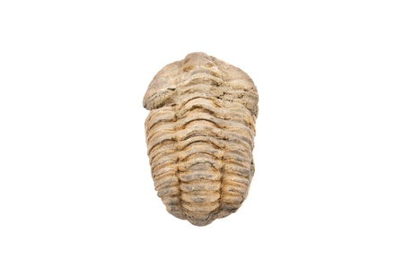 Trilobite fossil on white isolated background