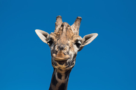 Close up view of a Giraffe Stock Photo