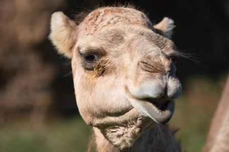 Close up portrait of a Camel