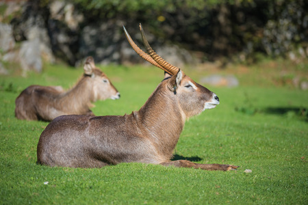 Antelope standing on the grass Stock Photo